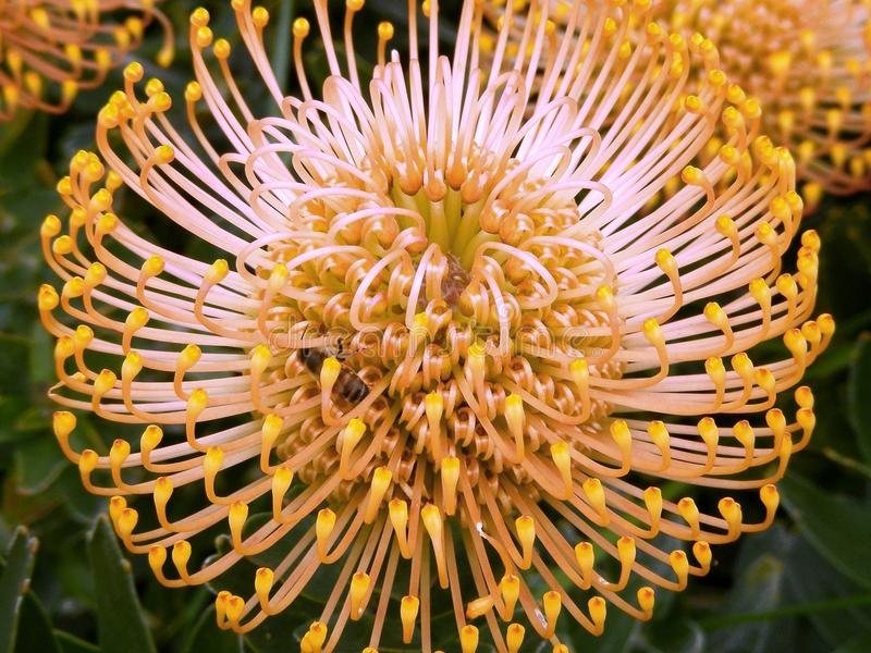 Leucospermum protea royalty free stock photos