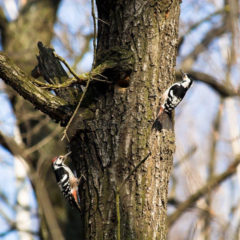 Leucotos de Dendrocopos, Woodpecker de dorso branco imagens de stock royalty free