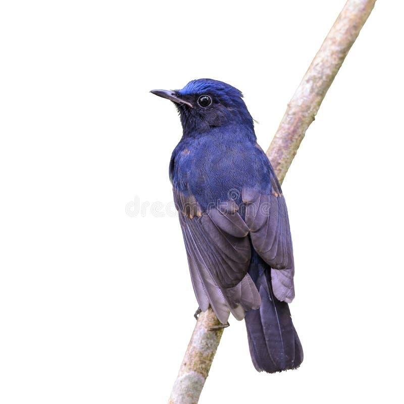 leucura Blanc-coupé la queue de Robin ou de Myiomela images libres de droits
