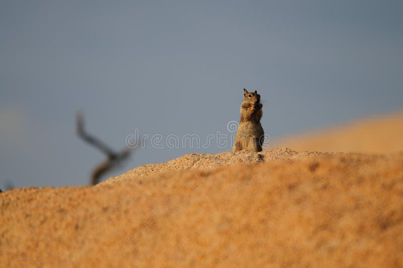 Leucurus atado branco de Ammospermophilus do esquilo de antílope fotos de stock