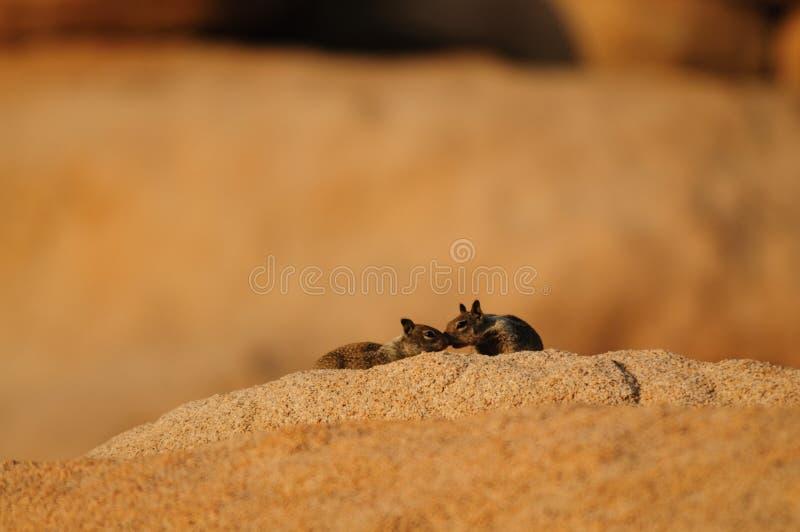 Leucurus atado dois brancos de Ammospermophilus do esquilo de antílope imagem de stock royalty free