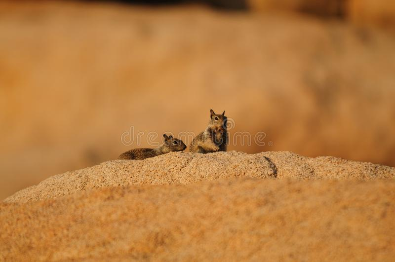 Leucurus atado dois brancos de Ammospermophilus do esquilo de antílope fotos de stock royalty free