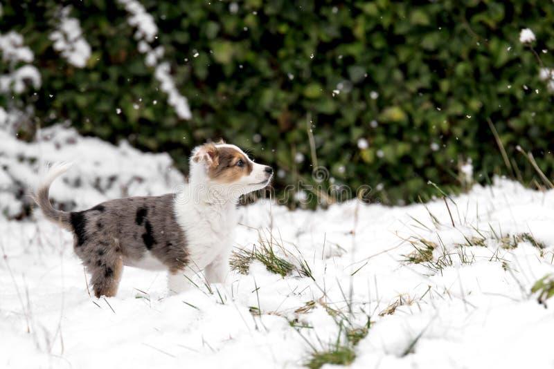 Leuk Aussie-mengelingspuppy in de tuin met sneeuw en sneeuwvlokken stock afbeeldingen