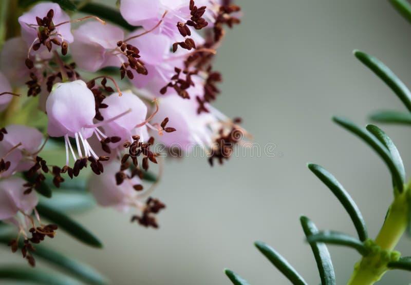 Leuk bloeit weinig roze purpere heideinstallatie macro dichte omhooggaand royalty-vrije stock foto's