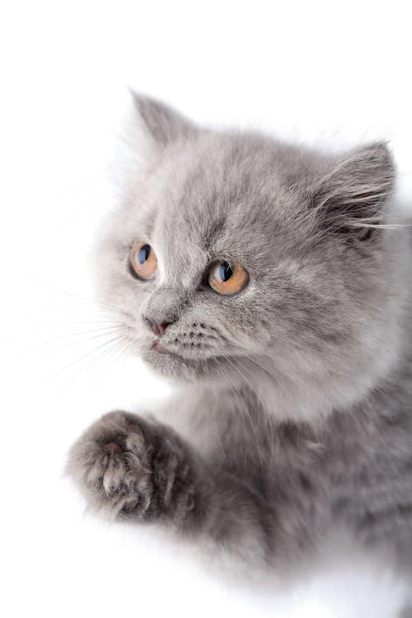Leuk Brits katje dat omhoog geïsoleerd kijkt stock afbeeldingen