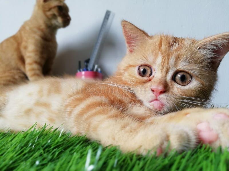 Leuk Brits Kort Haar Tabby Kitten stock foto