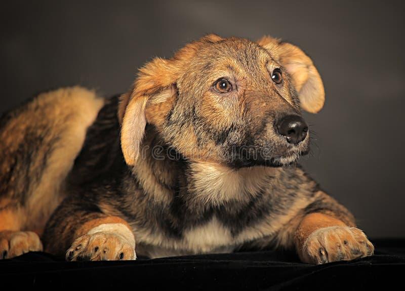 Leuk bruin bastaard puppy in studio stock fotografie