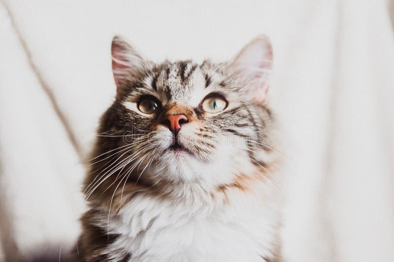 Leuk bruin gestreept nieuwsgierig horizontaal kattenportret royalty-vrije stock fotografie