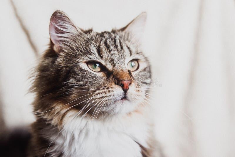 Leuk bruin gestreept prideful horizontaal kattenportret stock afbeeldingen