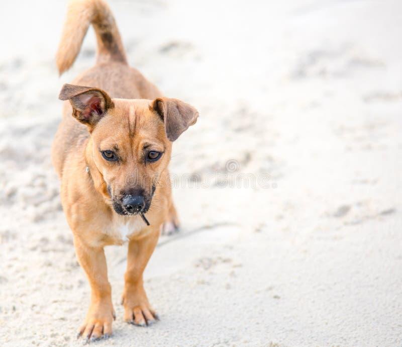 Leuk bruin puppy op een strand - de fotografie van de huisdierenhond stock foto's