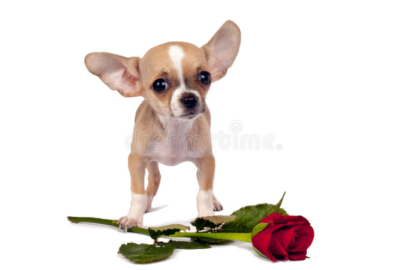 Leuk chihuahuapuppy. stock afbeelding
