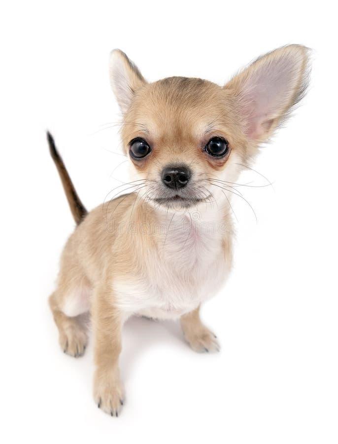 Leuk chihuahuapuppy met omhoog het plakken van staart stock afbeeldingen
