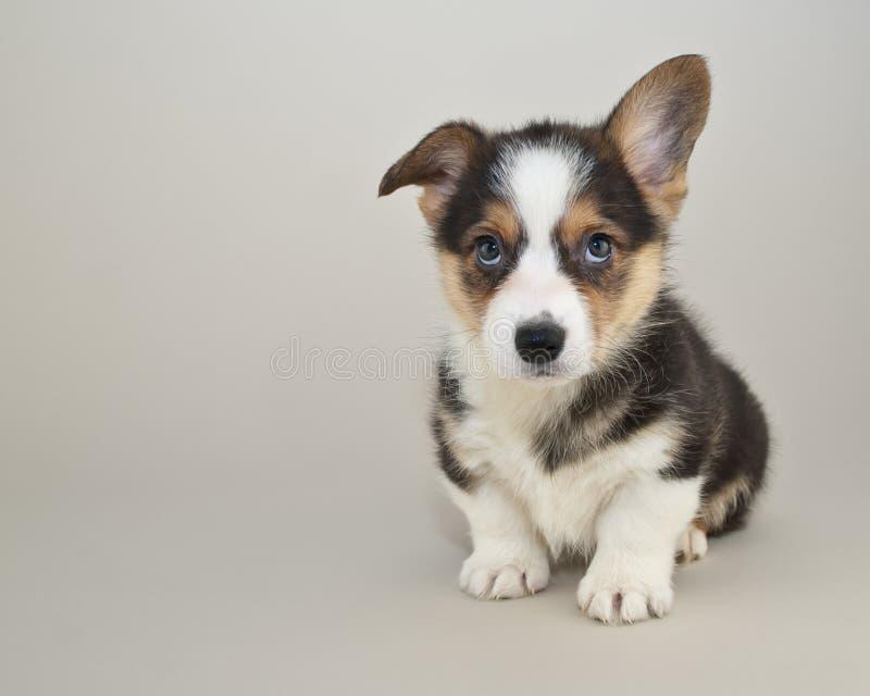 Leuk Corgi-puppy royalty-vrije stock afbeelding
