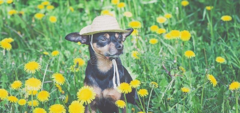 Leuk die puppy, hond in een strohoed door de lente gele kleuren wordt omringd op een gebloeide weide, portret van een hond stock afbeeldingen