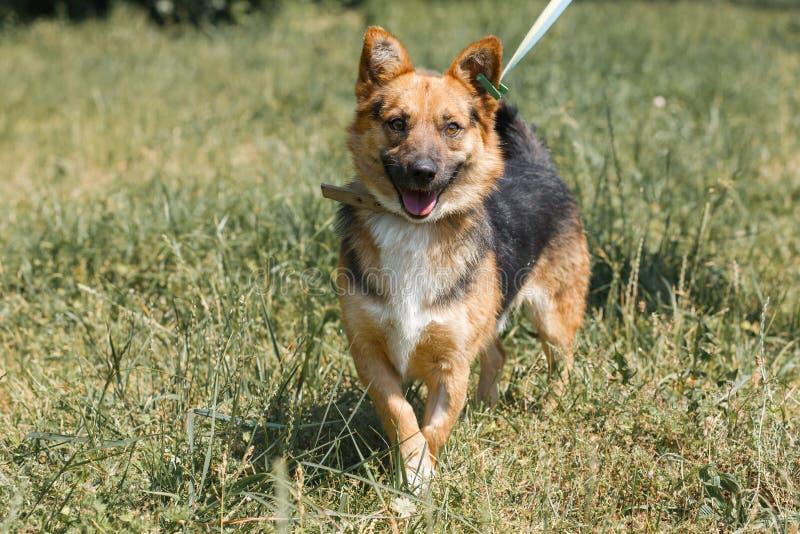 Leuk Duits herderspuppy die in openlucht terwijl op een gang in t glimlachen stock foto's