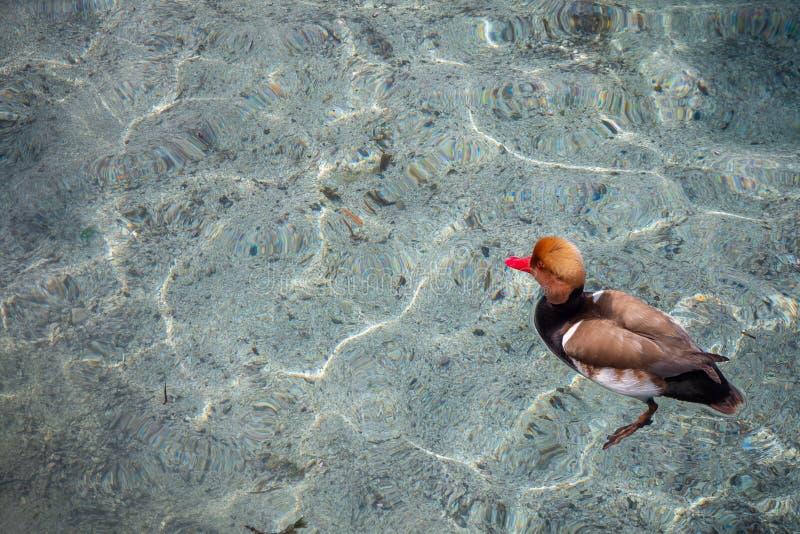 Leuk eendje dat in duidelijk water van het meer van Genève voor achtergrond drijft royalty-vrije stock afbeelding