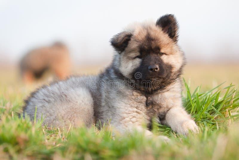 Leuk Europees-Aziatisch puppy royalty-vrije stock afbeeldingen