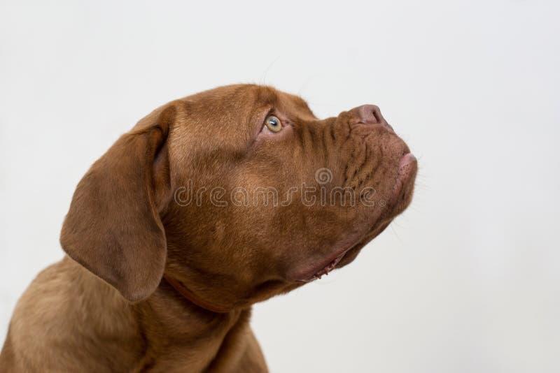 Leuk Frans die mastiffpuppy op een witte achtergrond wordt geïsoleerd De mastiff van Bordeaux of bordeauxdog Oud van vijf maanden stock foto