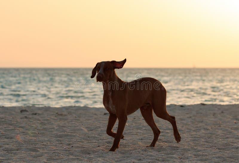 Leuk gelukkig lopend bruin hondportret Rode overzeese kust Zonnige strand en overzees met landschap van het zonsondergang het gou stock fotografie