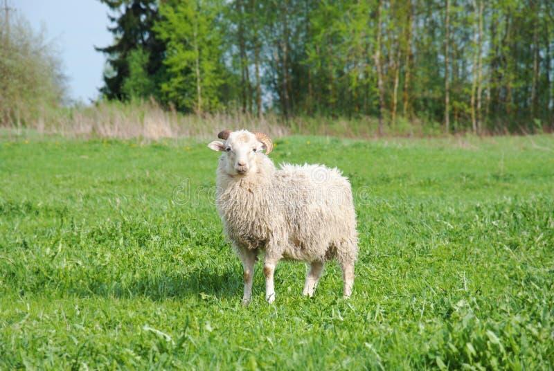 Leuk grappig schapen of lam royalty-vrije stock afbeelding
