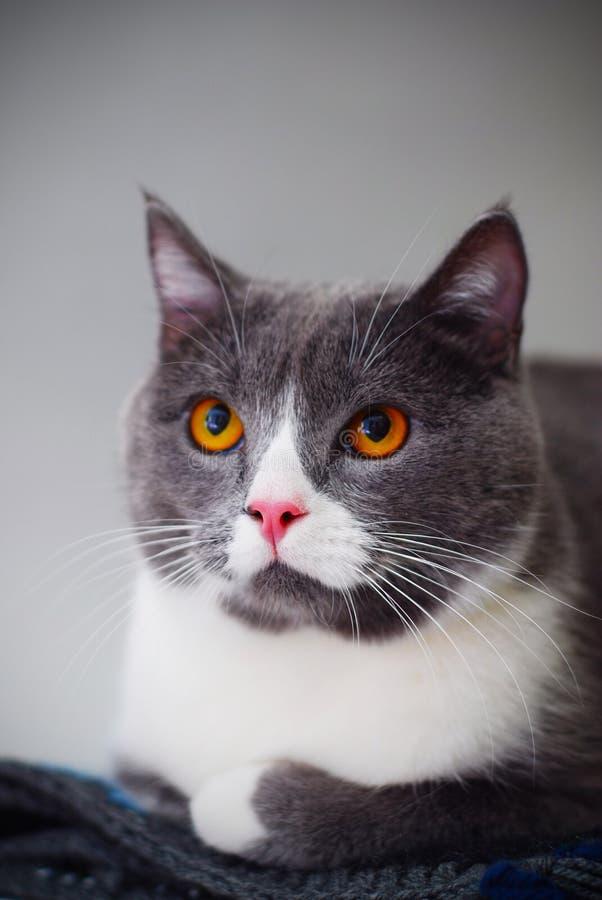 Leuk Gray Cat Sitting op Gebreide Deken in heldere witte ruimte Selectieve nadruk Verticaal beeld stock afbeelding