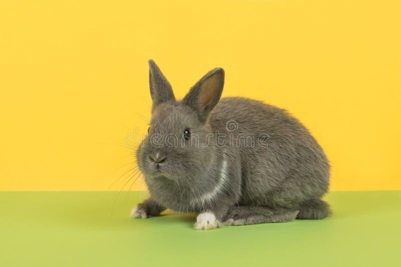 Leuk grijs die konijn van de kant op een groene en gele achtergrond wordt gezien royalty-vrije stock afbeeldingen