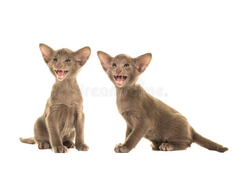 Leuk grijs twee die siamese babykatten spreken stock afbeelding