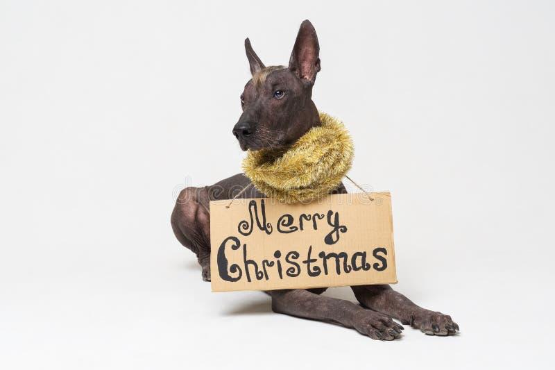 Leuk hondras, Mexicaanse Kale hond met Iroquois, in de slinger van het Nieuwjaar van het Kerstmisklatergoud met een kartonteken v stock afbeeldingen