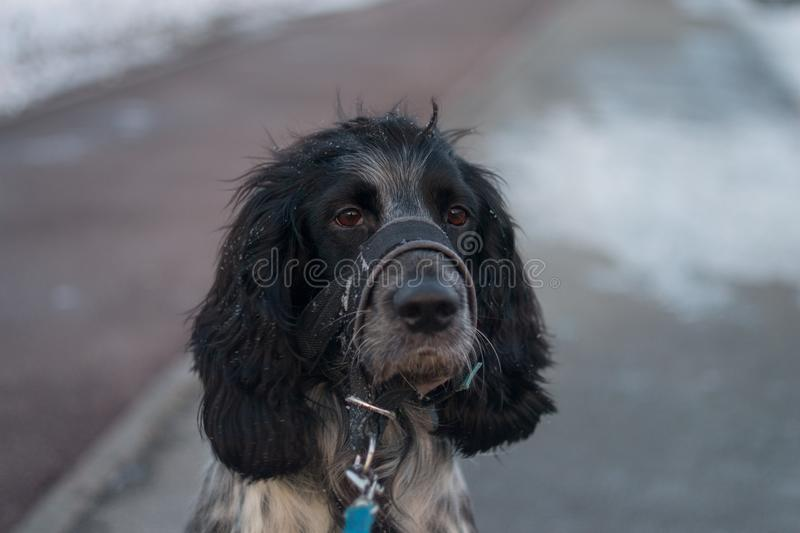 Leuk hondspaniel in snuit stock fotografie