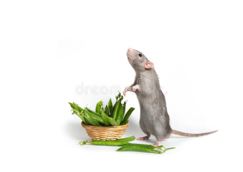 Leuk huisdier Een leuke Dumbo-rat bevindt zich op zijn achterste benen op een wit ge?soleerde achtergrond Mand met groene erwten  stock foto's