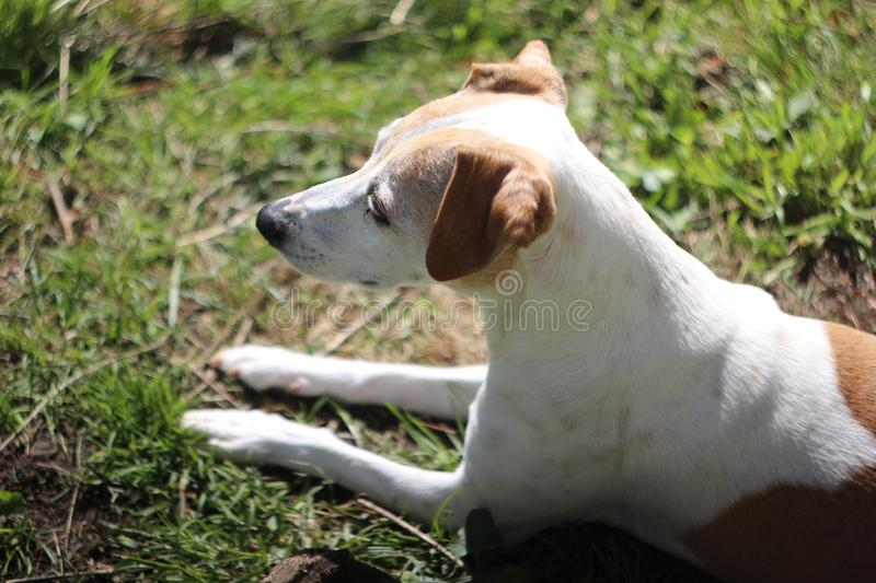 Leuk Jack Russell Terrier Mix Dog Looks aan de Kant royalty-vrije stock foto's