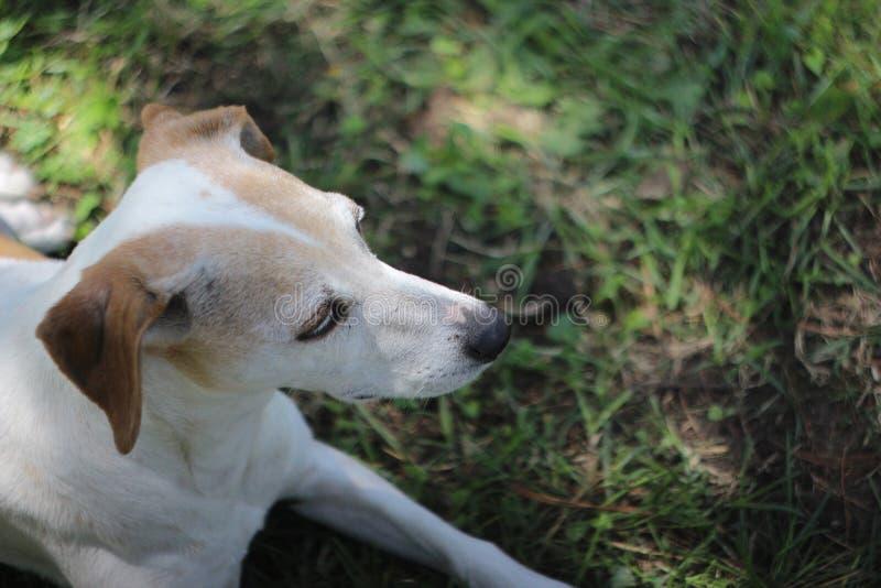 Leuk Jack Russell Terrier Mix Dog Looks aan de Kant royalty-vrije stock fotografie