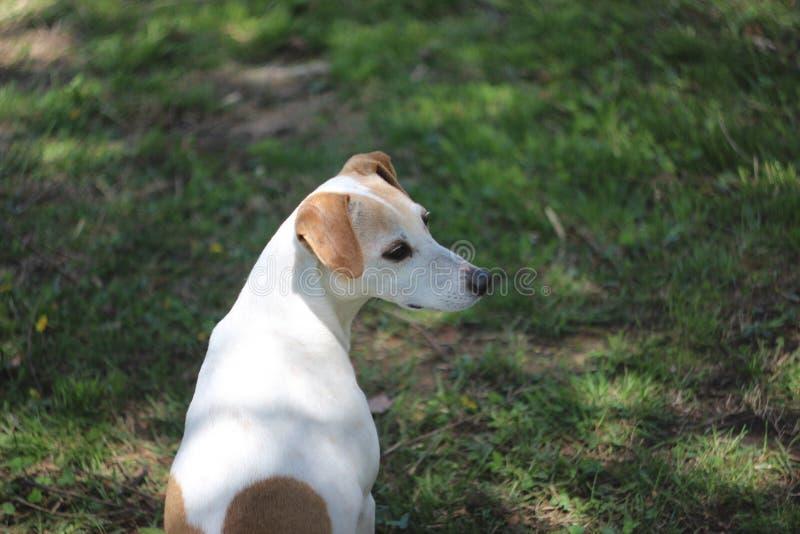 Leuk Jack Russell Terrier Mix Dog Looks aan de Kant royalty-vrije stock afbeeldingen