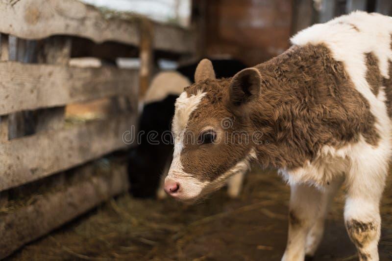 Leuk kalf op het landbouwbedrijf stock fotografie