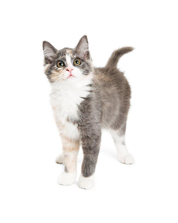 Leuk Katje bij de Witte Status die omhoog eruit zien royalty-vrije stock foto