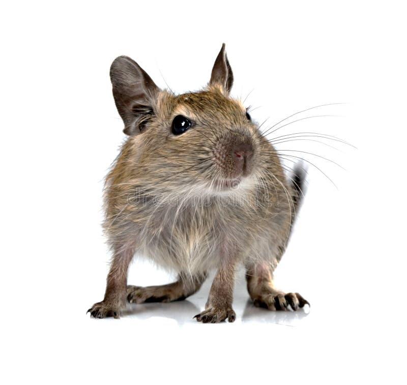 Leuk klein deguhuisdier van het babyknaagdier stock foto