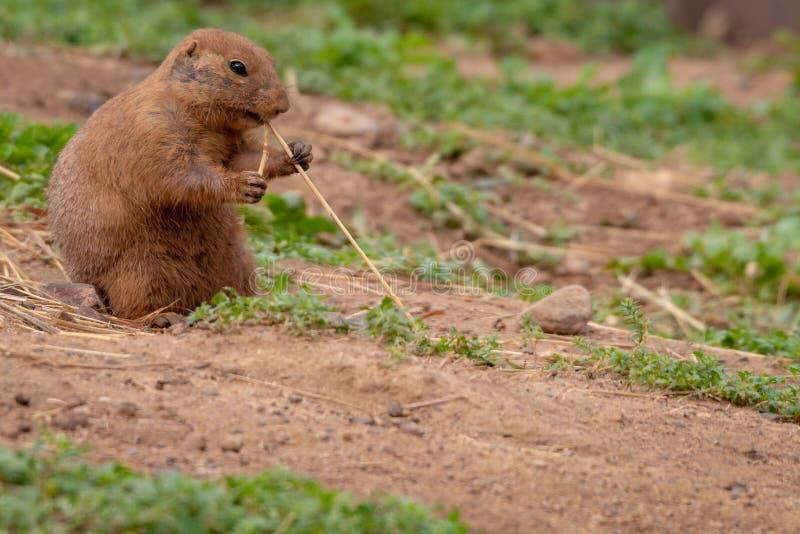 Leuk klein dierlijk Prairiehondknaagdier royalty-vrije stock foto's