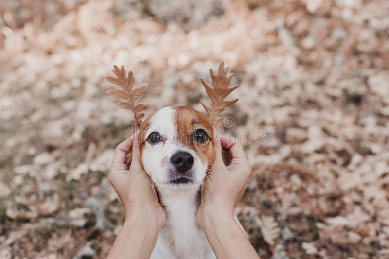 leuk klein hondportret met grappige bladeren voor oren Het zitten op bruine bladerenachtergrond Het concept van de herfst Ge?sole royalty-vrije stock afbeeldingen