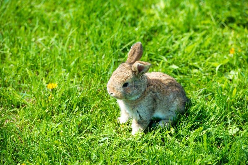 Leuk konijn met de zitting van de bloempaardebloem in gras Dierlijke aardhabitat, het leven in weide Europees konijn of gemeensch stock foto's