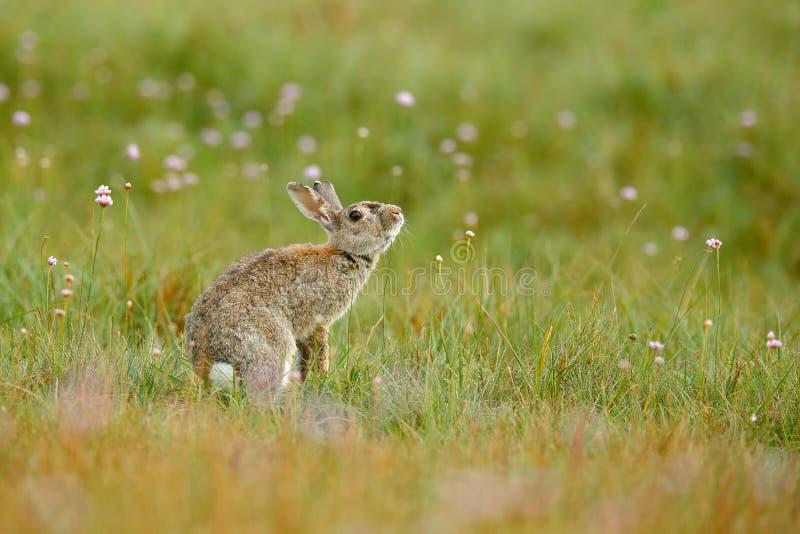 Leuk konijn met de zitting van de bloempaardebloem in gras Dierlijke aardhabitat, het leven in weide Europees konijn of gemeensch stock afbeelding