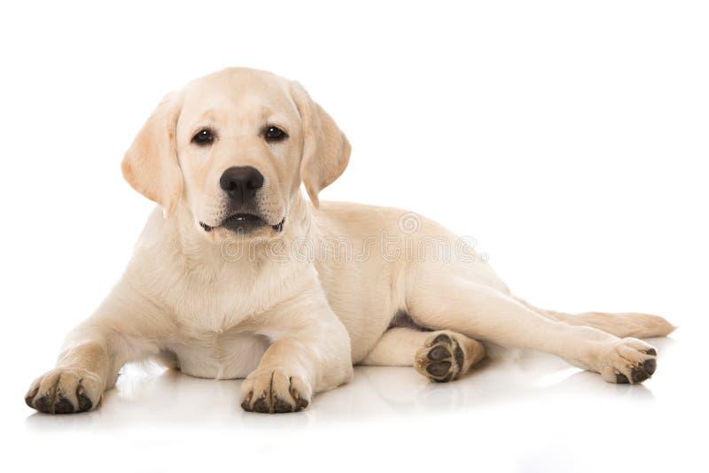 Leuk labrador retriever-puppy die op witte achtergrond liggen stock foto's