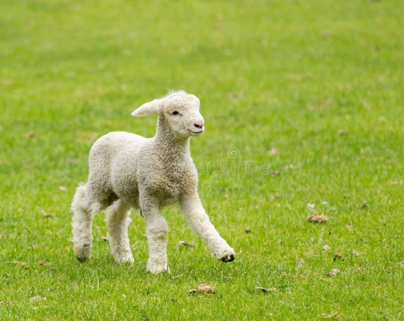 Leuk lam in weide in Nieuw Zeeland stock foto's