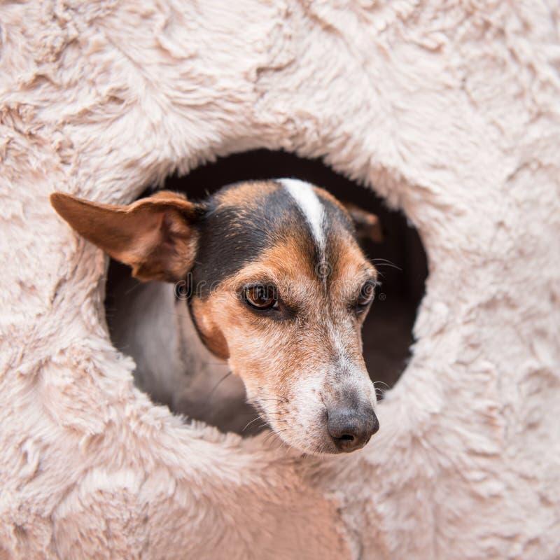 Leuk ligt weinig hond comfortabel in een kattenhol - oud Jack Russell 10 jaar - vlotte haarstijl royalty-vrije stock foto