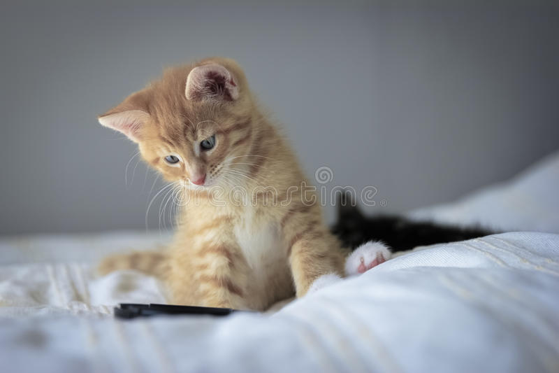 Leuk oranje katje met grote poten die met een stuk speelgoed spelen stock afbeelding