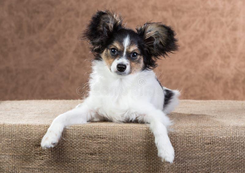Leuk Papillon-puppy stock afbeelding