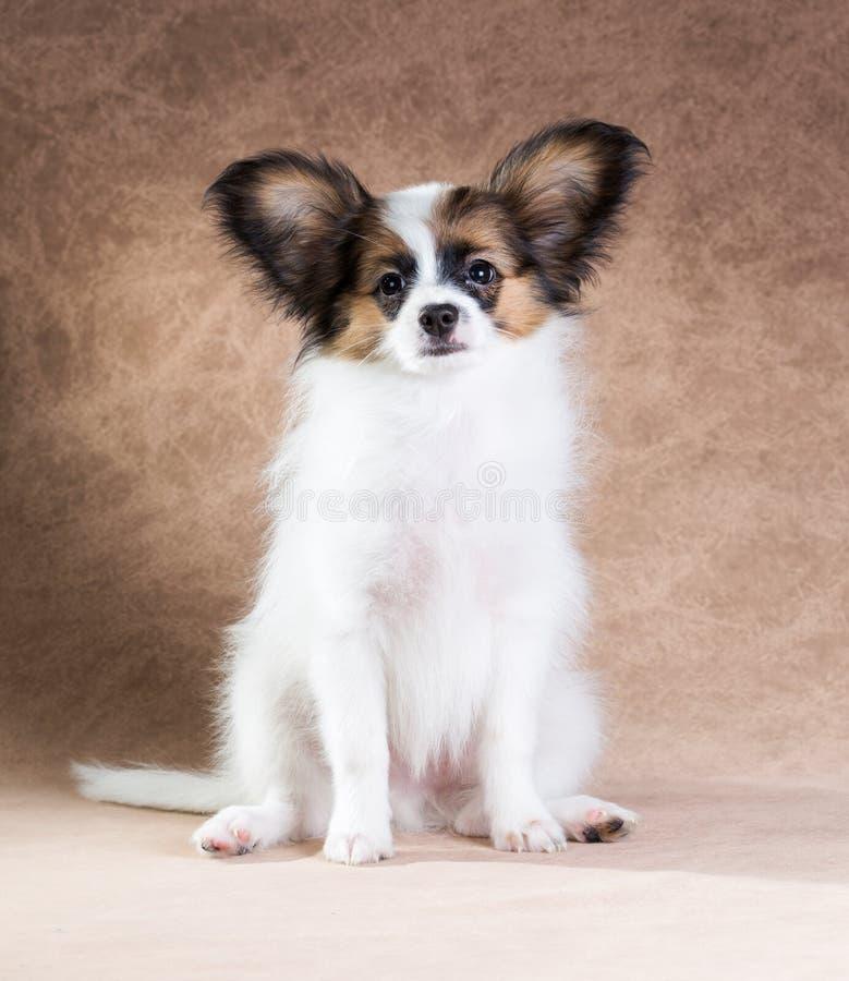 Leuk Papillon-puppy royalty-vrije stock fotografie