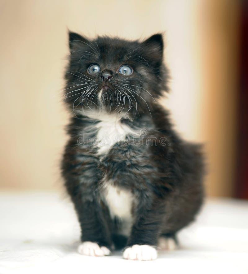 leuk pluizig mollig zwart katje stock afbeelding