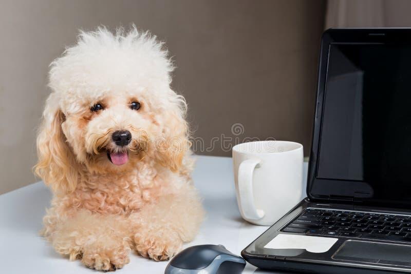 Leuk poedelpuppy die op bureau met laptop computer rusten royalty-vrije stock afbeelding