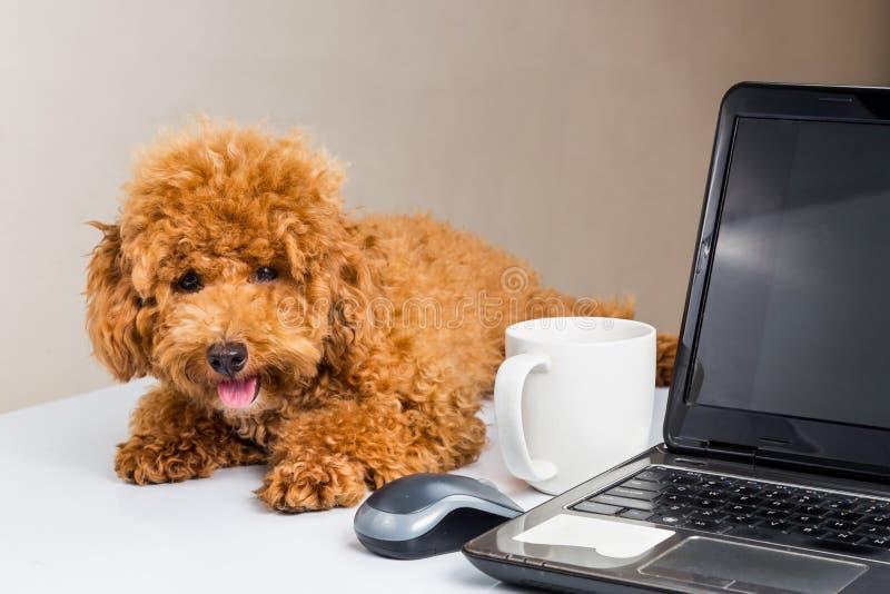 Leuk poedelpuppy die op bureau met laptop computer rusten stock afbeeldingen