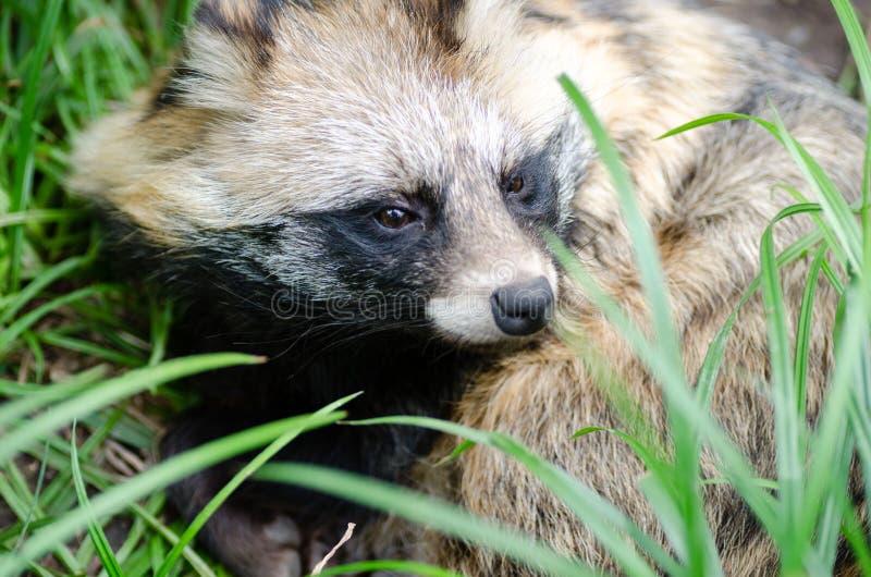 Leuk portret van wasbeerhond royalty-vrije stock afbeeldingen
